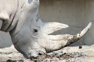 rhino-443216_1280