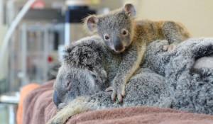 baby-koala-mom-surgery-australia-zoo-11