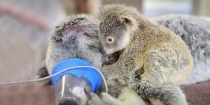 baby-koala-mom-surgery-australia-zoo-21