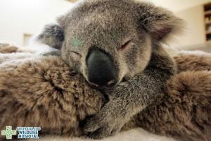 baby-koala-mom-surgery-australia-zoo-31