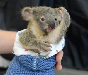 baby-koala-mom-surgery-australia-zoo-51