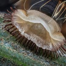 IoD-Lasiocampa-caterpillar