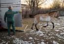 FOTOAKTUALITA: Do mongolských stepí zamíří další koně Převalského, mezi nimi možná i dvě klisny z Finska