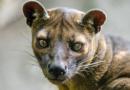 Další vzácný druh získala táborská ZOO. Novým obyvatelem je fosa madagaskarská
