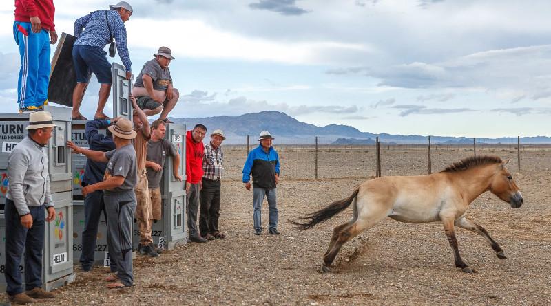 Koně převalského z pražské ZOO jsou v Mongolsku