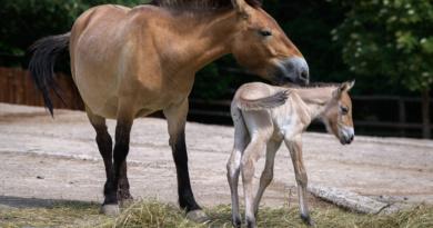 FOTOAKTUALITA: Pražská ZOO má nové hříbě koně převalského. Narodilo se v noci na čtvrtek