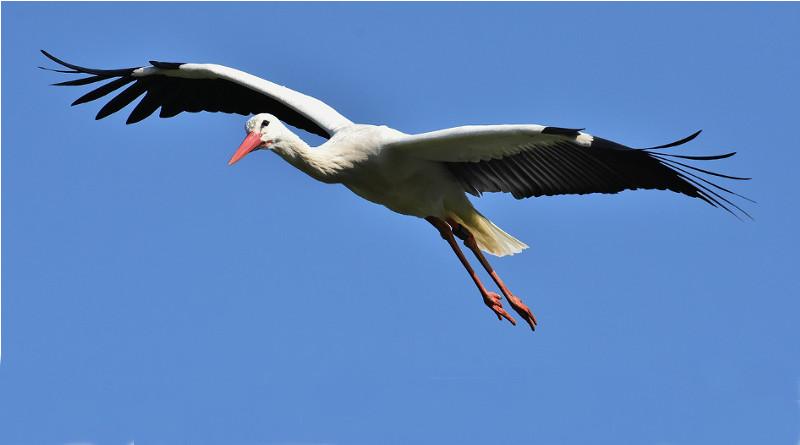 Čápů je letos zřejmě méně. Ornitologové žádají veřejnost o pomoc při jejich sčítání