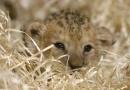 Malá lvice Nelye se už ve výběhu rozkoukává