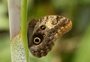 Ve sklenících Mendelovy univerzity se začnou líhnout exotičtí motýli