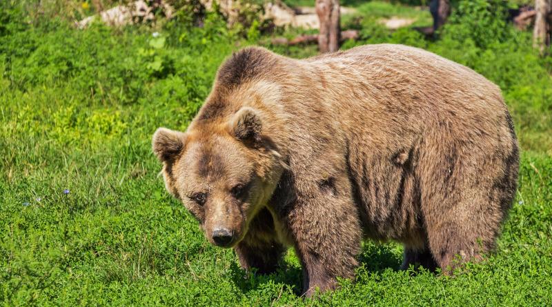 KOMENTÁŘ: Zastřelení medvědího tuláka zValašska není nutné, nový domov najde vBelgii