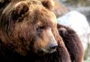 Uhynul kamčatský medvěd Jelizar z brněnské ZOO