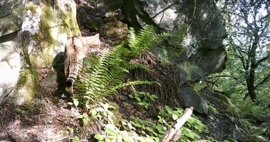 V Doupovských horách zaznamenali výskyt divoké kočky