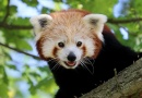 Ze ZOO Plzeň utekl samec pandy červené. ZOO žádá o pomoc veřejnost