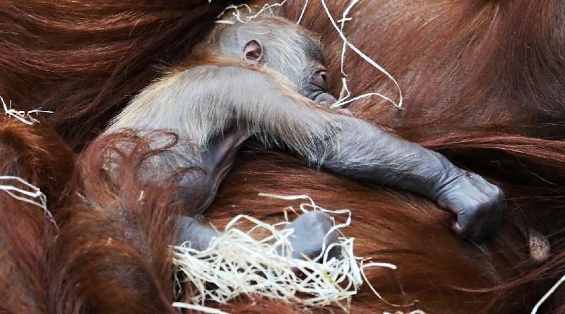 Pražská ZOO má nový přírůstek do rodiny orangutanů