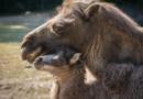 ZOO Praha představila veřejnosti velbloudí mládě