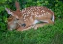 Vědci prokázali nákazu u divokých jelenců běloocasích
